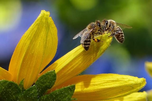 Comment est fabriqué le sirop pour abeilles ?