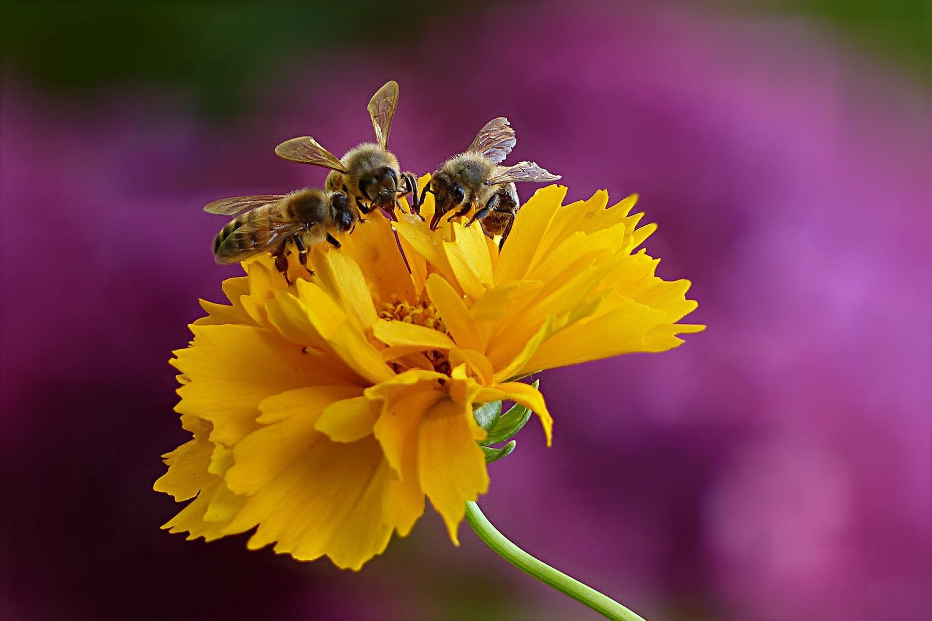 Abeilles domestiques et abeilles sauvages, quelles sont les différences?